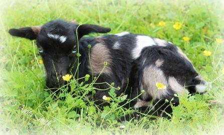 Myotonic Goat Herd